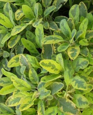 Herb Sage Golden Variegated